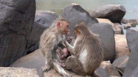 Schrecklicher Affe, der unter einer Krankheit leidet stock footage