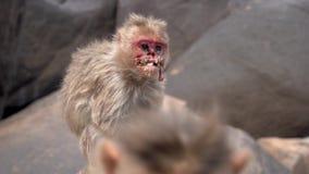 Schrecklicher Affe, der unter einer Krankheit leidet stock video footage