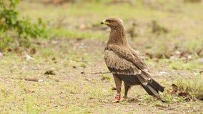 Schreeuwarend, Lesser Spotted Eagle, pomarina d'Aquila photos libres de droits