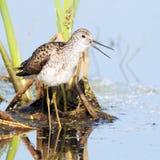 Schreeuwend Marsh Sandpiper in het Moeras royalty-vrije stock fotografie