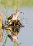 Schreeuwend Marsh Sandpiper in het Moeras stock afbeeldingen
