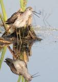 Schreeuwend Marsh Sandpiper in het Moeras stock afbeelding