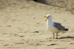 Schreeuwende meeuw bij strand Stock Afbeeldingen