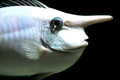 Schreeuwende Vissen Stock Foto