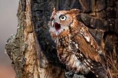 Schrei Owl Calling Lizenzfreies Stockfoto