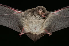 Schreiber's bat  open wings on  black Royalty Free Stock Photography