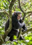 Schreien ein verärgerter Schimpanse Der Schimpanse u. das x28; Pan-troglodytes& x29; Rufe im Regenwald, gebend unterzeichnet zu d Stockfotos
