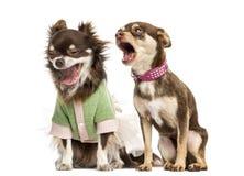 Schreien mit zwei Chihuahua Stockfotos