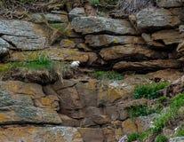 Schreiende Möve, die ihr Nest schützt Stockfotografie