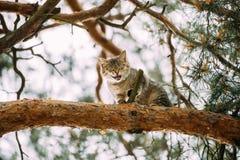 Schreiende miauende erwachsene Cat On ein Kiefer-Niederlassungs-Frühlings-Saison Stockfoto