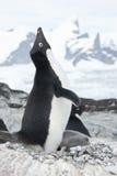 Schreiender Adelie-Pinguin im Nest. Stockfoto