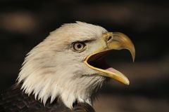 Schreiender Adler Lizenzfreies Stockbild