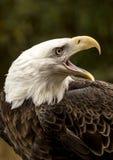 Schreiender Adler Lizenzfreie Stockbilder