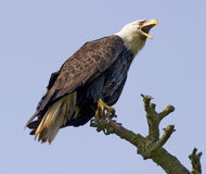 Schreiender Adler im wilden Stockbilder