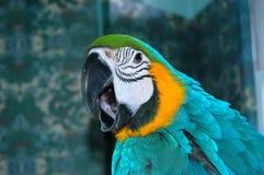 Schreiender Blau-und Goldkeilschwanzsittich-Papagei Lizenzfreie Stockfotografie
