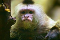 Schreiender Capuchin Lizenzfreie Stockfotos