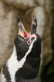 Schreiender Humboldt Pinguin Lizenzfreie Stockfotografie