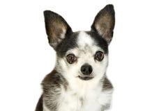 Schreiender Hund Stockfotografie
