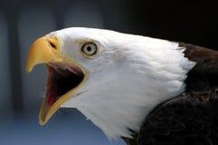 Schreiender kahler Adler Stockfoto
