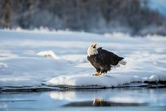 Schreiender kahler Adler auf Schnee Das schreiende Ba; d-Adler sitzt auf Schnee zum Fluss Chilkat Lizenzfreie Stockbilder
