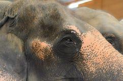 Schreiendes Elephan Lizenzfreies Stockfoto