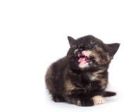 Schreiendes Kätzchen auf Weiß Stockfotografie
