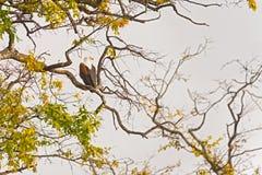 Schreiseeadler auf dem Baum Lizenzfreies Stockfoto