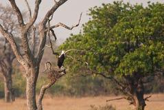 Schreiseeadler auf dem Nest Stockfotografie