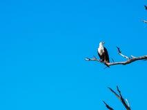 Schreiseeadler, der auf trockenem Baumast mit blauem Himmel steht Stockbilder