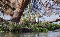 Schreiseeadler, der entlang des Wasserrandes anstarrt Lizenzfreie Stockfotos
