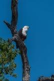Schreiseeadler gehockt auf totem Baum Stockbild