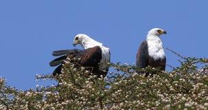 Schreiseeadler, Haliaeetus vocifer, Paar an der Spitze des Baums, Naivasha See in Kenia, stock video
