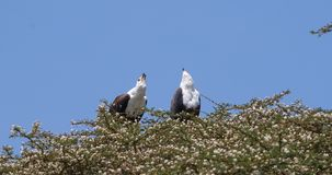 Schreiseeadler, Haliaeetus vocifer, Paar singend an der Spitze des Baums, Naivasha See in Kenia, stock footage