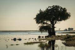 Schreiseeadler im Baum auf Riverbank Lizenzfreie Stockfotos