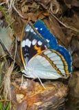 schrencki πεταλούδων apatura 17 Στοκ Εικόνες
