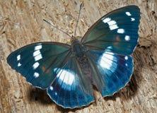schrencki πεταλούδων apatura 27 Στοκ φωτογραφία με δικαίωμα ελεύθερης χρήσης