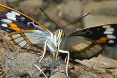 schrencki бабочки 29 apatura Стоковое фото RF