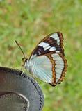 Schrencki Apatura бабочки Стоковые Изображения