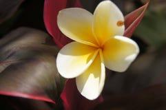 Schrijf Indonesische bloem Stock Afbeeldingen