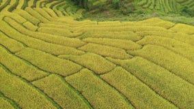 Schritt-Reisreisfeld der Vogelperspektive goldenes in Chiangmai, Thailand stock video footage