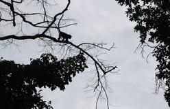 Schritte des Schattenbildaffen springen zwischen Bäume Lizenzfreies Stockfoto