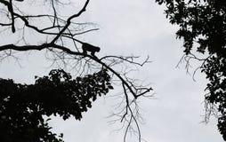 Schritte des Schattenbildaffen springen zwischen Bäume Lizenzfreie Stockbilder
