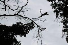 Schritte des Schattenbildaffen springen zwischen Bäume Lizenzfreie Stockfotografie