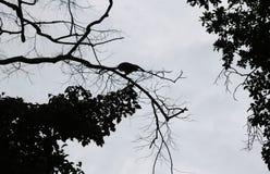 Schritte des Schattenbildaffen springen zwischen Bäume Stockbild