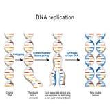 Schritte von DNA-Reproduktion lizenzfreie abbildung