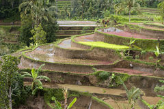 Schrittweise Reisfelder Stockfoto
