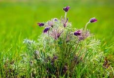 Schrob droomgras op het groene gebied Royalty-vrije Stock Foto