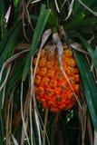 Schroefpijnboom, Okinawa Prefecture /Japan stock foto