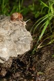 Schroefpomatia op de rots Royalty-vrije Stock Afbeeldingen