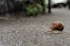 Schroefpomatia op het asfalt Stock Foto